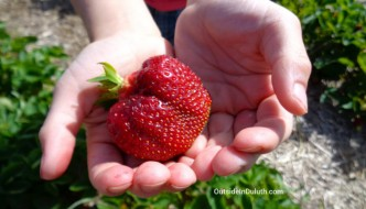 Sweet Rewards:  Pick-Your-Own Strawberries