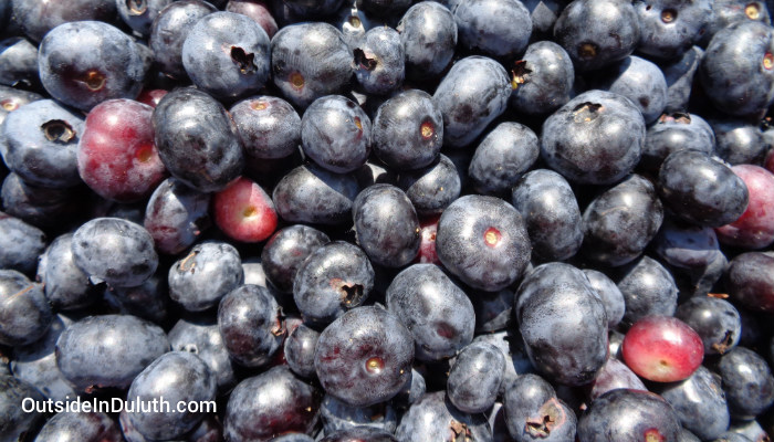 Pick-Your-Own Blueberries in Cloquet